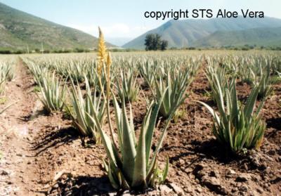 ecolife-aloe-vera-gel-plant