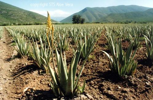 ecolife-aloe-vera-plantage